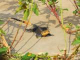 Lizard, Benin