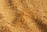 Nearly invisible crab, Grand Popo, Benin