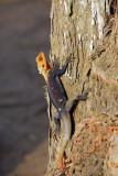 Lizard, Grand Popo, Benin