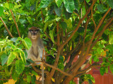 Hotel Carrefour Chez M has a very psychotic looking monkey chained to a tree