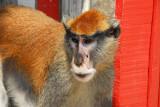 Not the smartest monkey I've seen