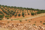 Olive orchards, Syria