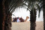Camel, Bab Al Shams