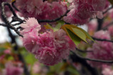 Cherry blossom season, Kamakura, Japan