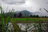 Rice paddies, Chiang Rai province