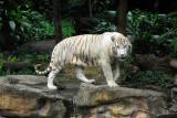 White Tiger, Singapore Zoo