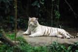 White Tiger resting, Singapore Zoo