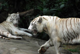 A pair of White Tigers, Singapore Zoo