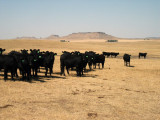 Cattle, Harding County, NW South Dakota