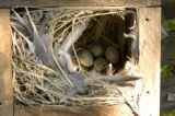 Sparrow eggs in birdhouse