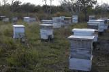 Honey bees in Panama