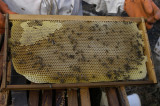 Frame of honey in Panama