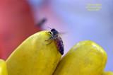 Africanized Queen, Panama. Bee Culture Calendar photo Jan. '09