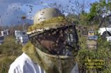 Africanized Honey Bees in Panama