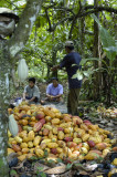 Harvesting Cacao