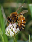 Honey bee on Dutch clover