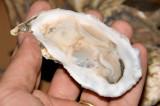 Wellfleet oyster