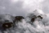 Buffalos in Hot Springs Yellowstone