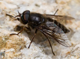 Horse Fly (male)
