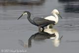 Western Reef-Heron with Snowy Egret