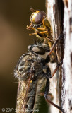 Robber Fly with Syrphid Fly prey