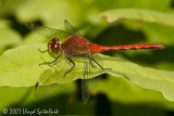 Ruby or Cherry-faced Meadowhawk