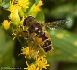 Syrphid (Flower/Hover) Fly