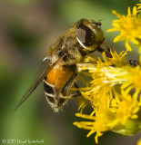 Syrphid (Flower/Hover) Fly (female)