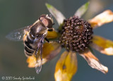 Syrphid (Flower/Hover) Fly (male)
