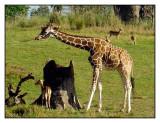 Kilimanjaro Safaris, Animal Kingdom, Orlando