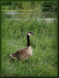 Beautiful canadian goose in the green