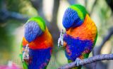 Synchronised scratching - rainbow lorikeets