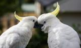 Sulphur crested cockatoo pair