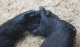 Chimpanzee hand and foot