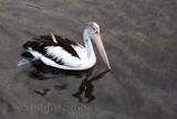 Australian pelican at Batemans Bay