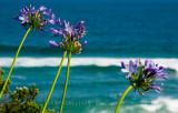 Agapanthus at Bungan Beach