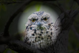 Tawny Frogmouth in spotlight