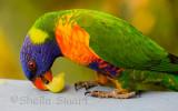 Rainbow lorikeet with grape