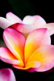 Frangipani - pink and yellow variety