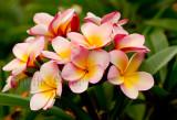 Frangipani flowers - plumeria