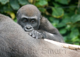 Baby lowland gorilla on back of mother