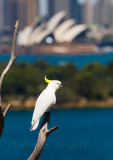 Sulphur crested cockatoo with Sydney Opera House backdrop