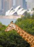 Giraffe with Sydney and Opera House backdrop