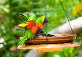 Rainbow Lorikeet at bath