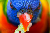 Rainbow lorikeet beak