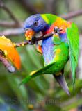 Rainbow lorikeet hanging in!