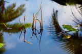 Reeds at Botanic Gardens