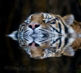 Swimming tiger!