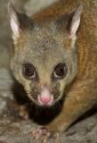 Male brushtail possum - Australian marsupial