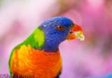 Rainbow lorikeet with azalea background